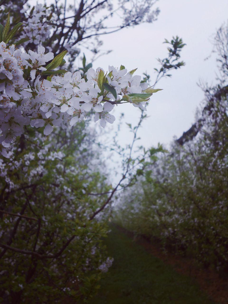 cascina-palazzo-fioritura-susine-002