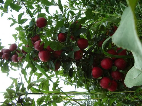 cascina-palazzo-buckeye-apples