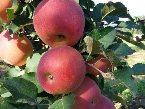 cascina-palazzo-fujion-apples