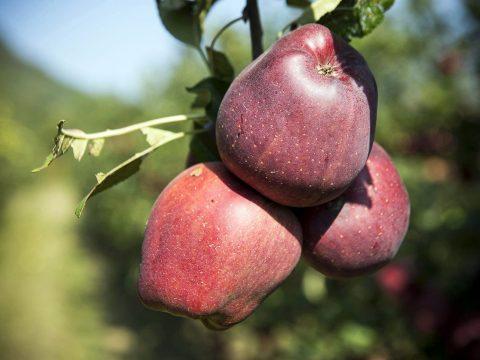 cascina-palazzo-redchief-apples