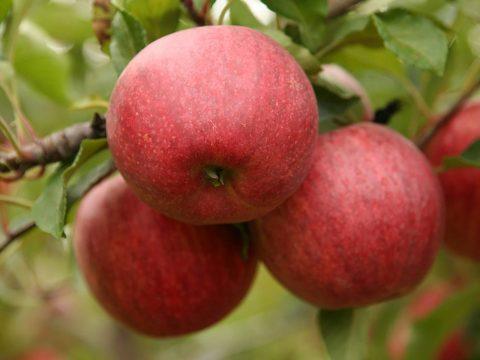 cascina-palazzo-schniga-apples