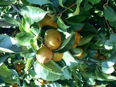 cascina-palazzo-nashi-pears