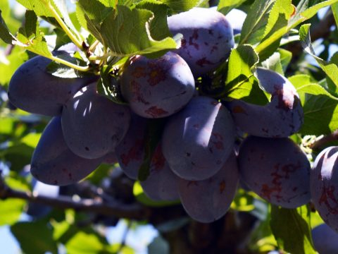 cascina-palazzo-stanley-plums
