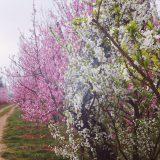 cascina-palazzo-fioritura-susine-003
