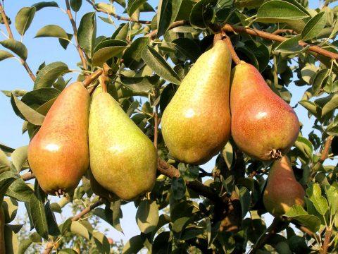 cascina-palazzo-carmen-pears