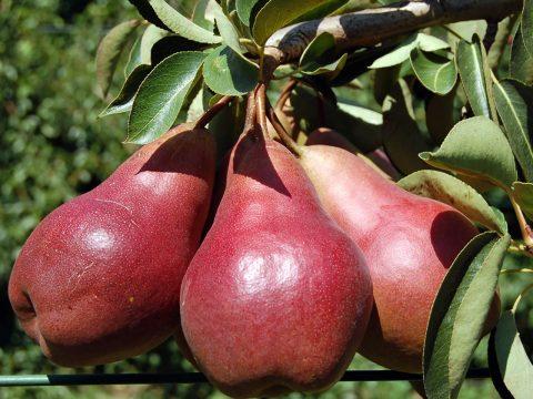cascina-palazzo-williams-pears